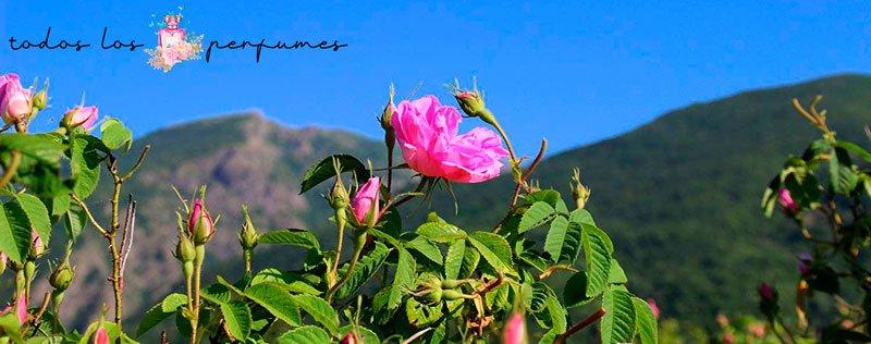 Rosa Búlgara - Glosario de terminos de perfumes - Todos los perfumes