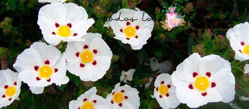 Rosa de Roca - Glosario de terminos de perfumes - Todos los perfumes